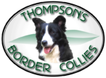 Thompson's Border Collies